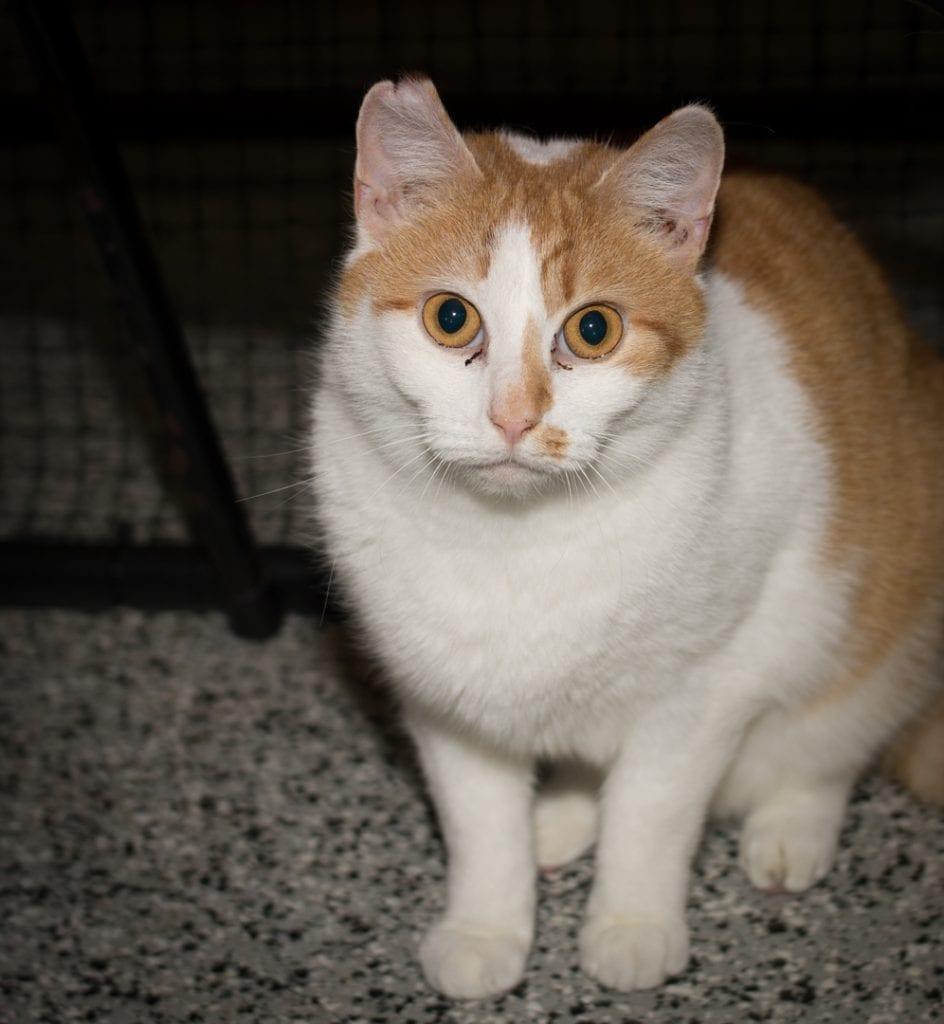 Persian Cat Breeders in Arizona - Persian Kittens for Sale